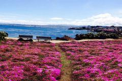 pacific-grove-cliffs-bloom-california-coast
